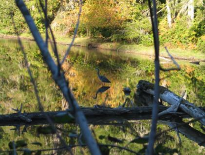 Great Blue Heron in the Slough