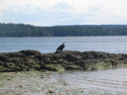 Bald eagle at Sunrise Point