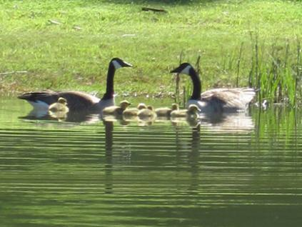 Canada geese and goslings at Capernwray pond