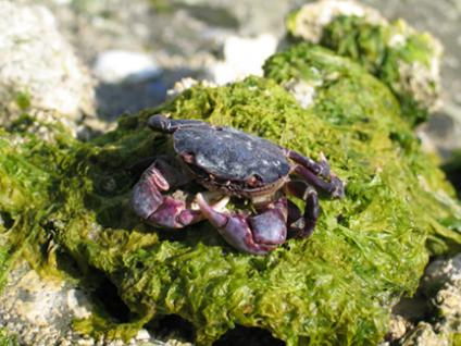 Rock crab at Clam Bay